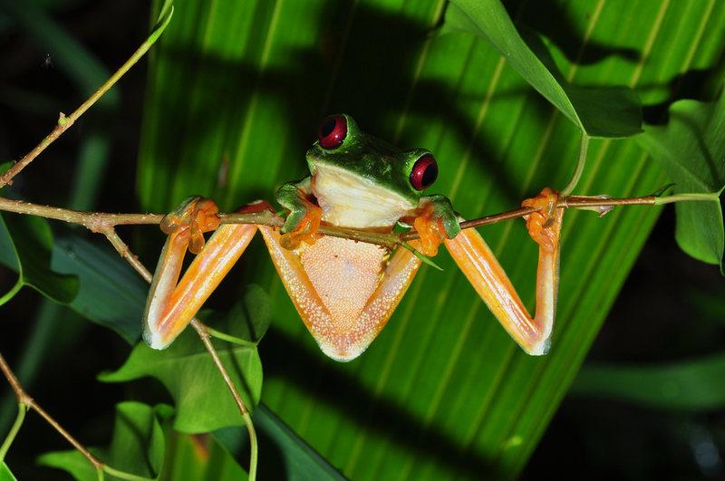 Costa Rica Frog in jungle || Blue Osa Travels
